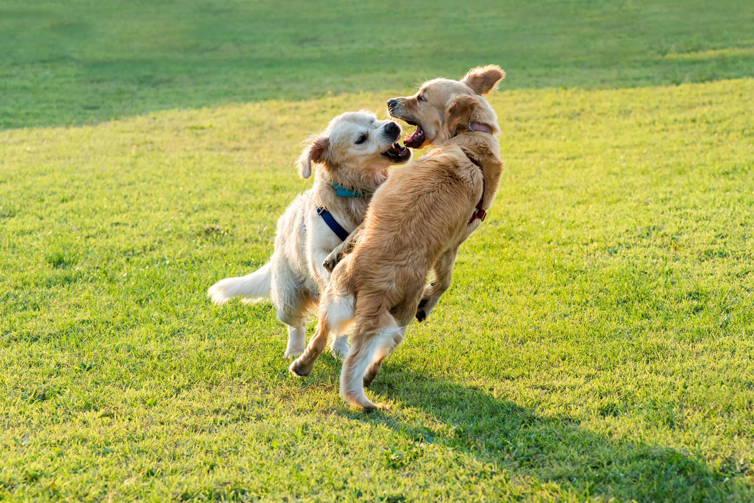 Two happy Golden Retriever dogs playing together, jumping and biting each other
